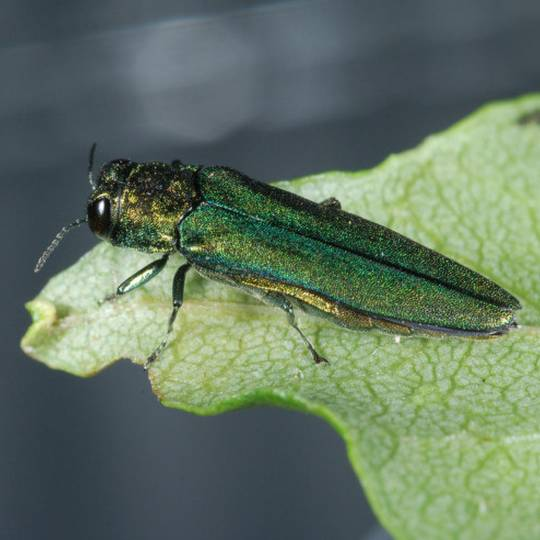 Save Your Ash Trees: The Emerald Ash Borer