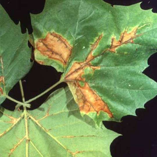 Tree Disease Spotlight: Sycamore Anthracnose