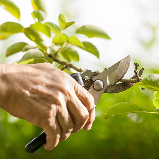 How to Prune a Young Tree the Right Way