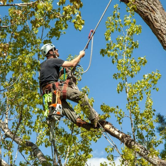 An Alternative to Tree Removal: Cabling and Bracing