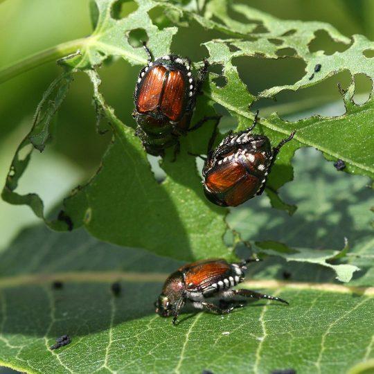 Tree Pest Spotlight: Japanese Beetle