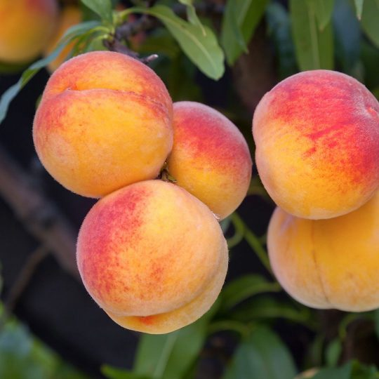 Four Summer Fruit Tree Pruning Tips
