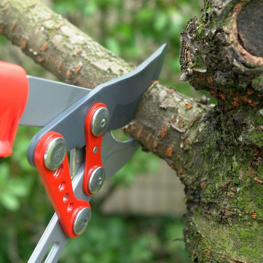 pruning-mature-trees