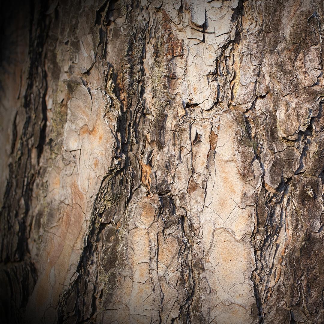 Peeling Tree Bark Elite Tree Care