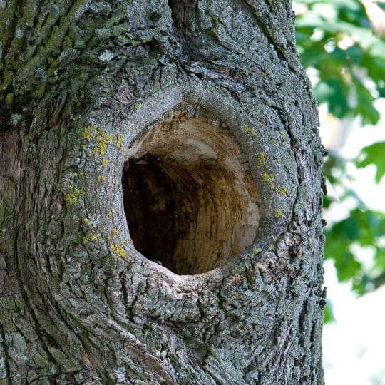 tree-hollow
