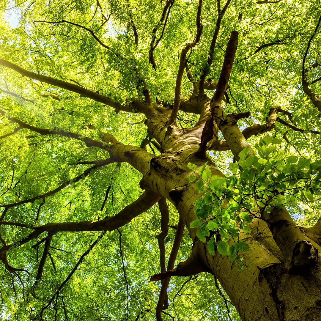Cabling And Bracing Elite Tree Care