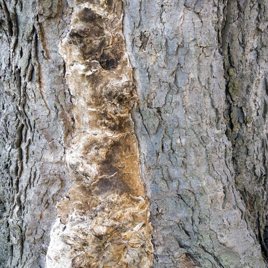 Common Tree Disease