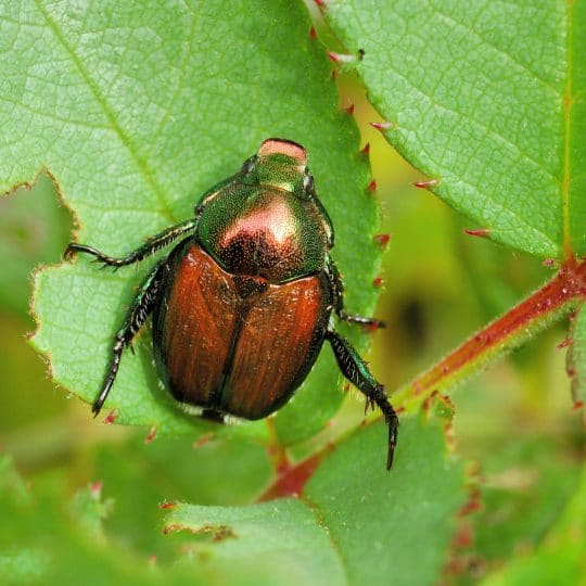 Facts about Japanese Beetles