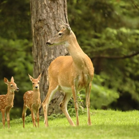 Natural Deer Repellents