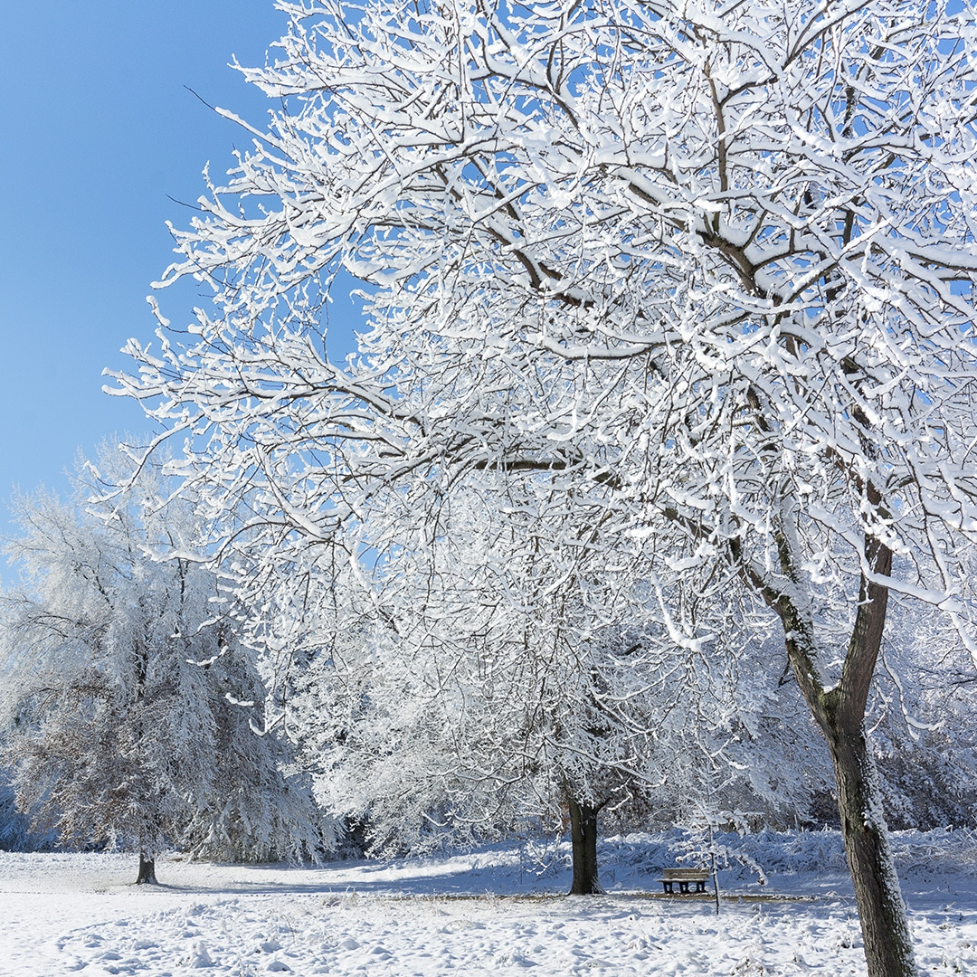 The Risk Of Snow On Trees Elite Tree Care