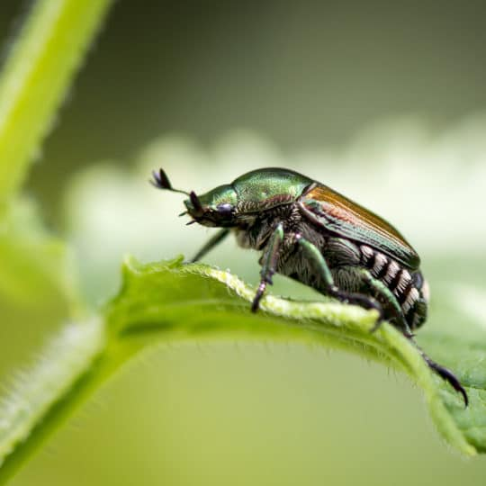 Preparing for Japanese Beetles