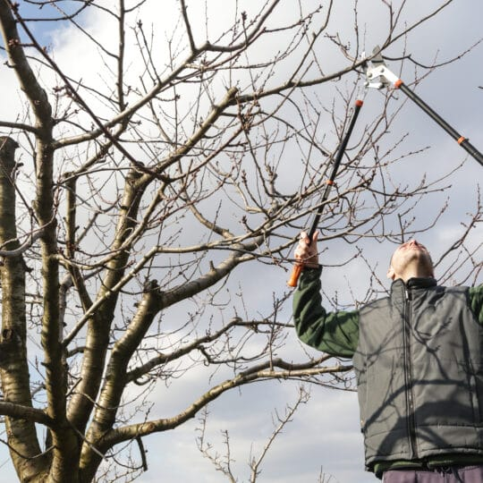 Winter Tree Pruning Process